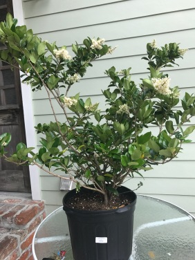 Ligustrum purchased in bloom