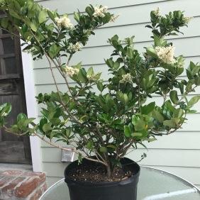 Ligustrum purchased in bloom